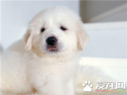 大白熊犬分几种 大白熊犬是一个独立的品种