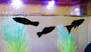 黑玛丽鱼繁殖的时候需要注意什么